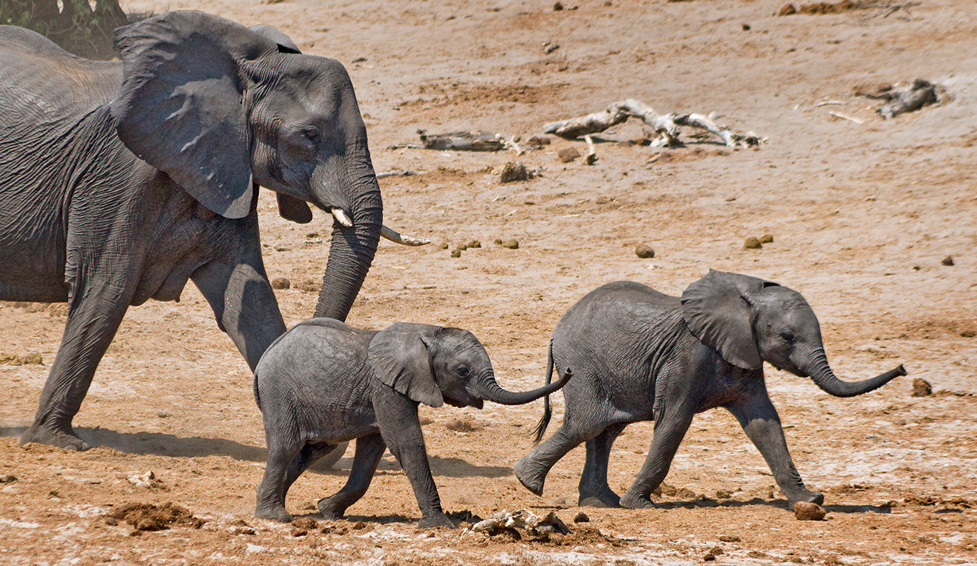 17 ELEPHANT COW WITH CALVES by Peter Tulloch