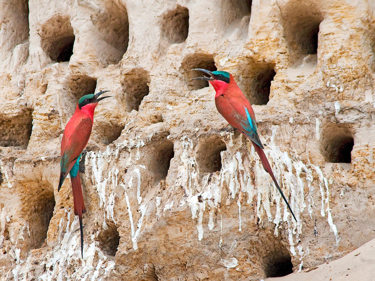 19 CARMINE BEE-EATER AT NEST by Peter Tulloch