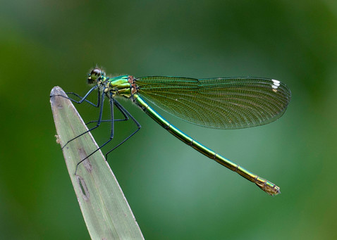 FEMALE BANDED DEMOISELLE CALOPTERYX SPLENDENS by Douglas Hands