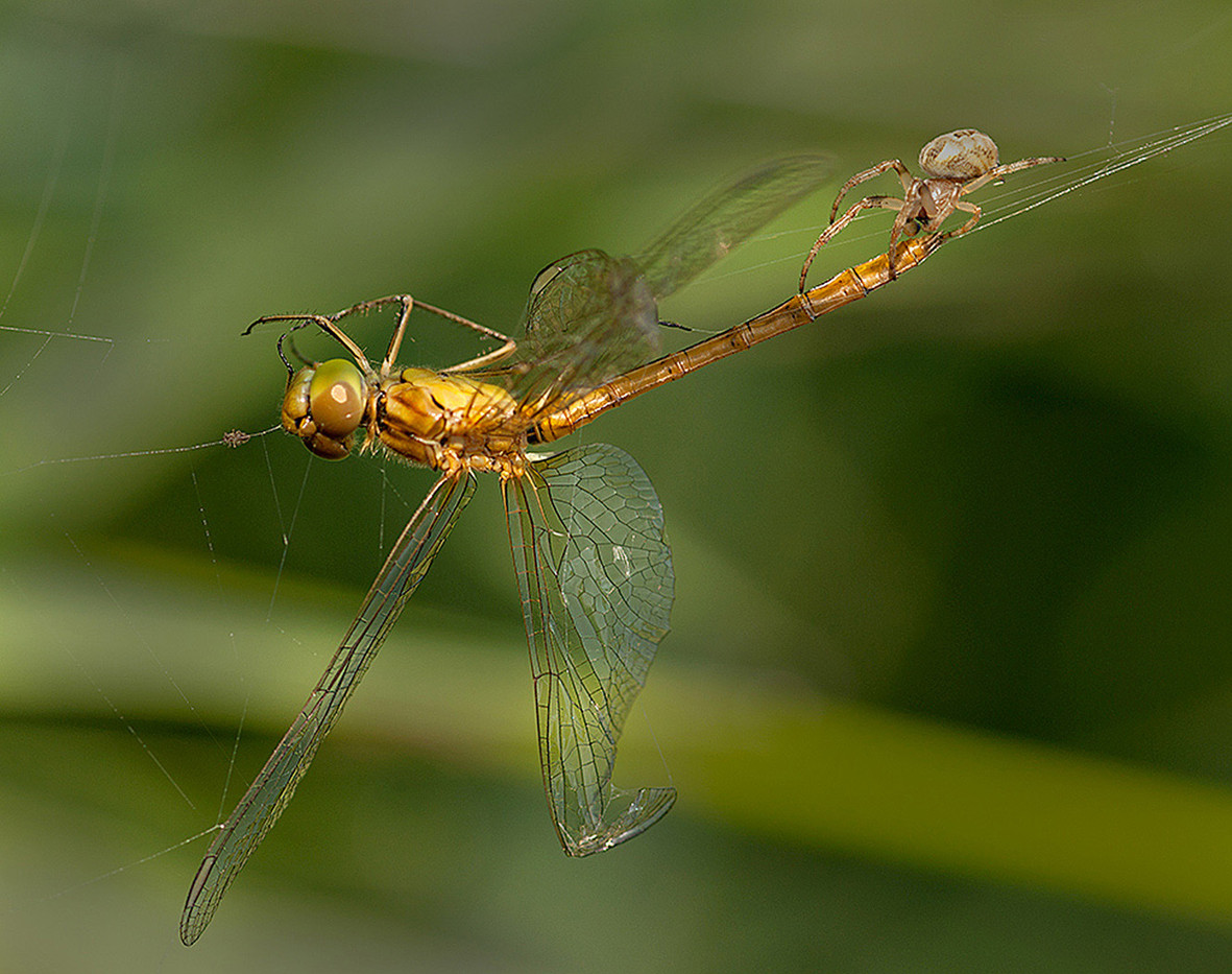 GROUP 1 19 COMMON DARTER PREDATED WITH LARINOIDES SPIDER by Douglas Hands