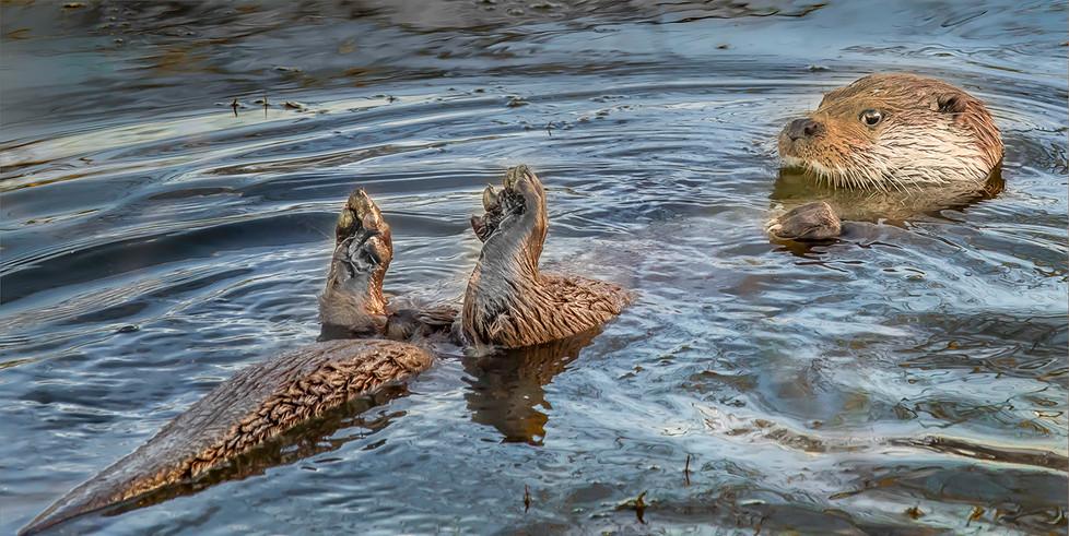 17 BATHING OTTER by David Peek