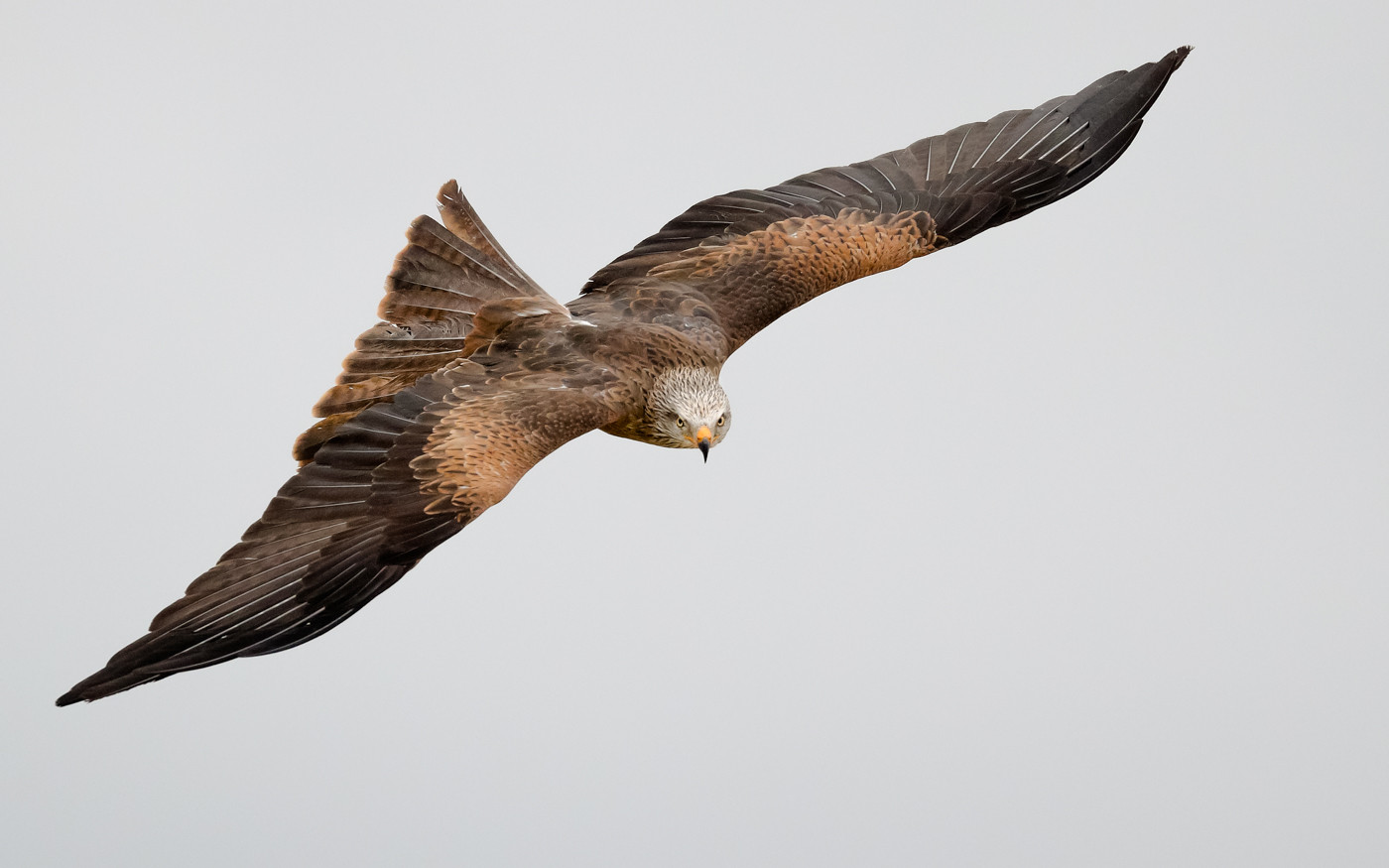 19 THE PREDATOR'S STARE OF A BLACK KITE by David Godfrey