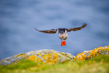 18 PUFFIN by Doniphane Dupriez