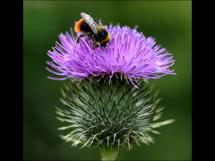 20 BEE on THISTLE by Mick Dudley