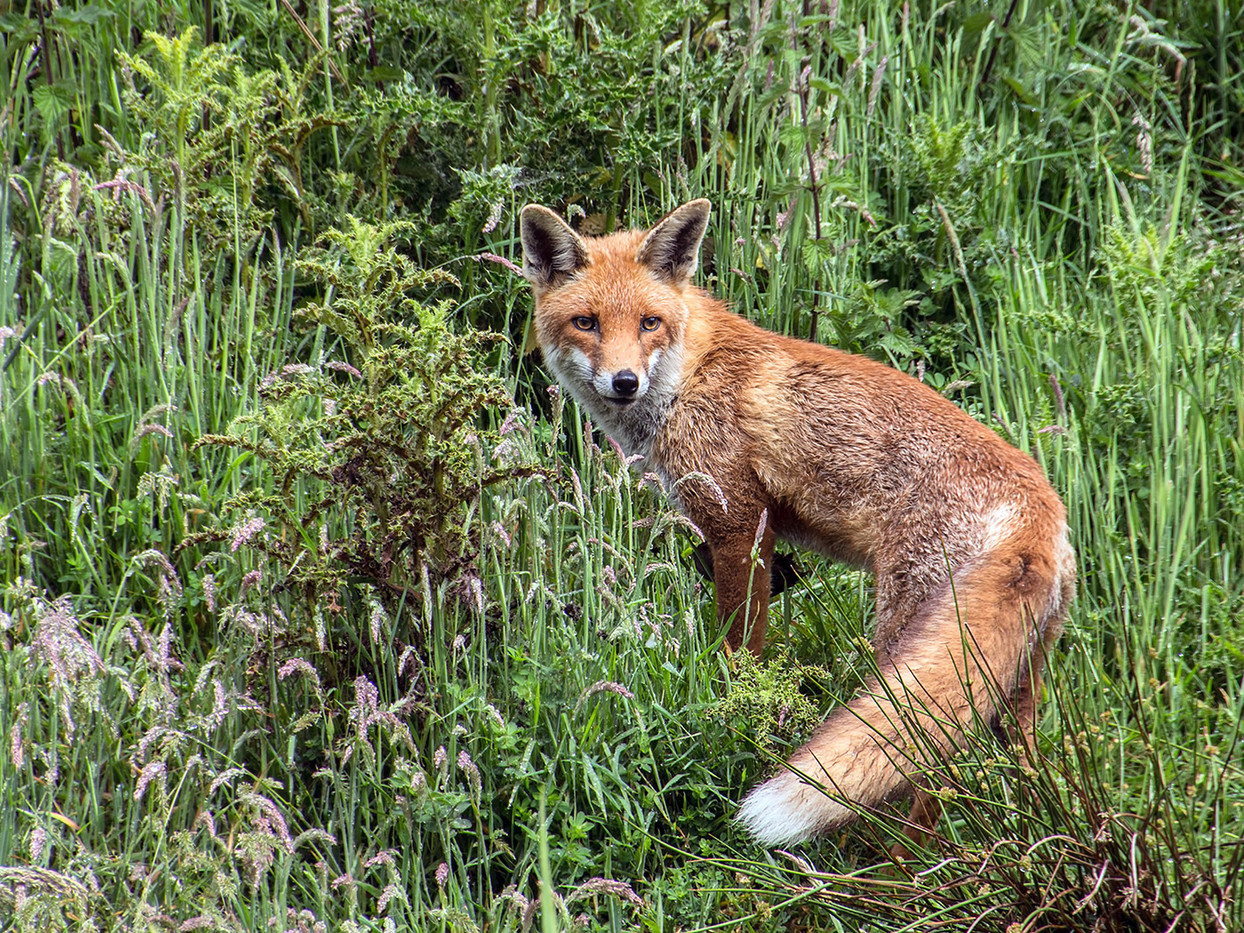 18 RED FOX by Pam Sherren
