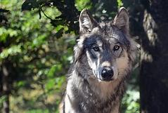 Loup.webp