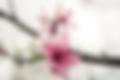 fleurs_de_pêche.webp