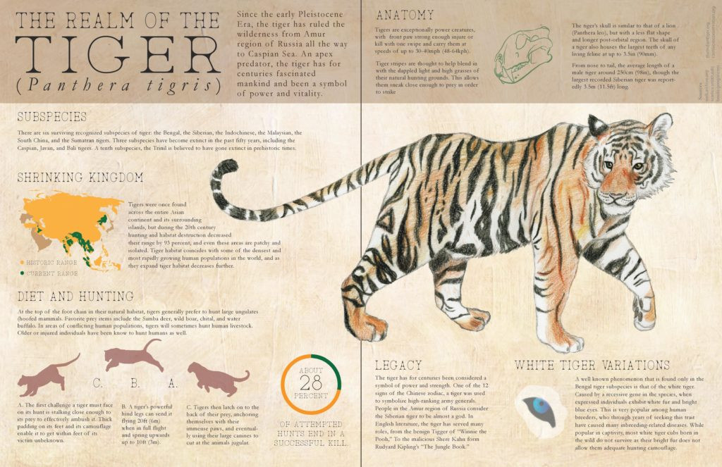 Tiger Inforgraphic