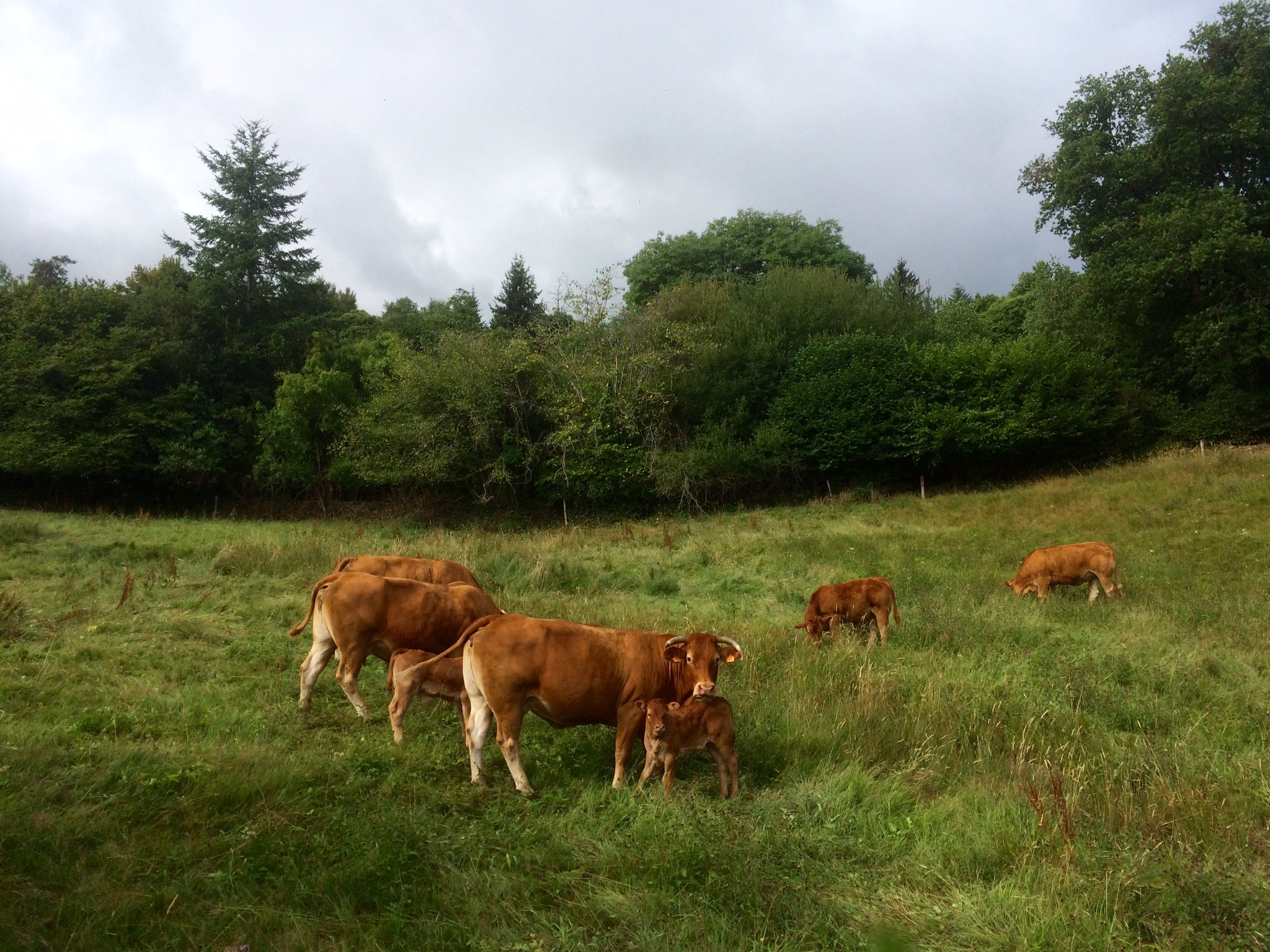 Our neighbours - the Limousin cattle