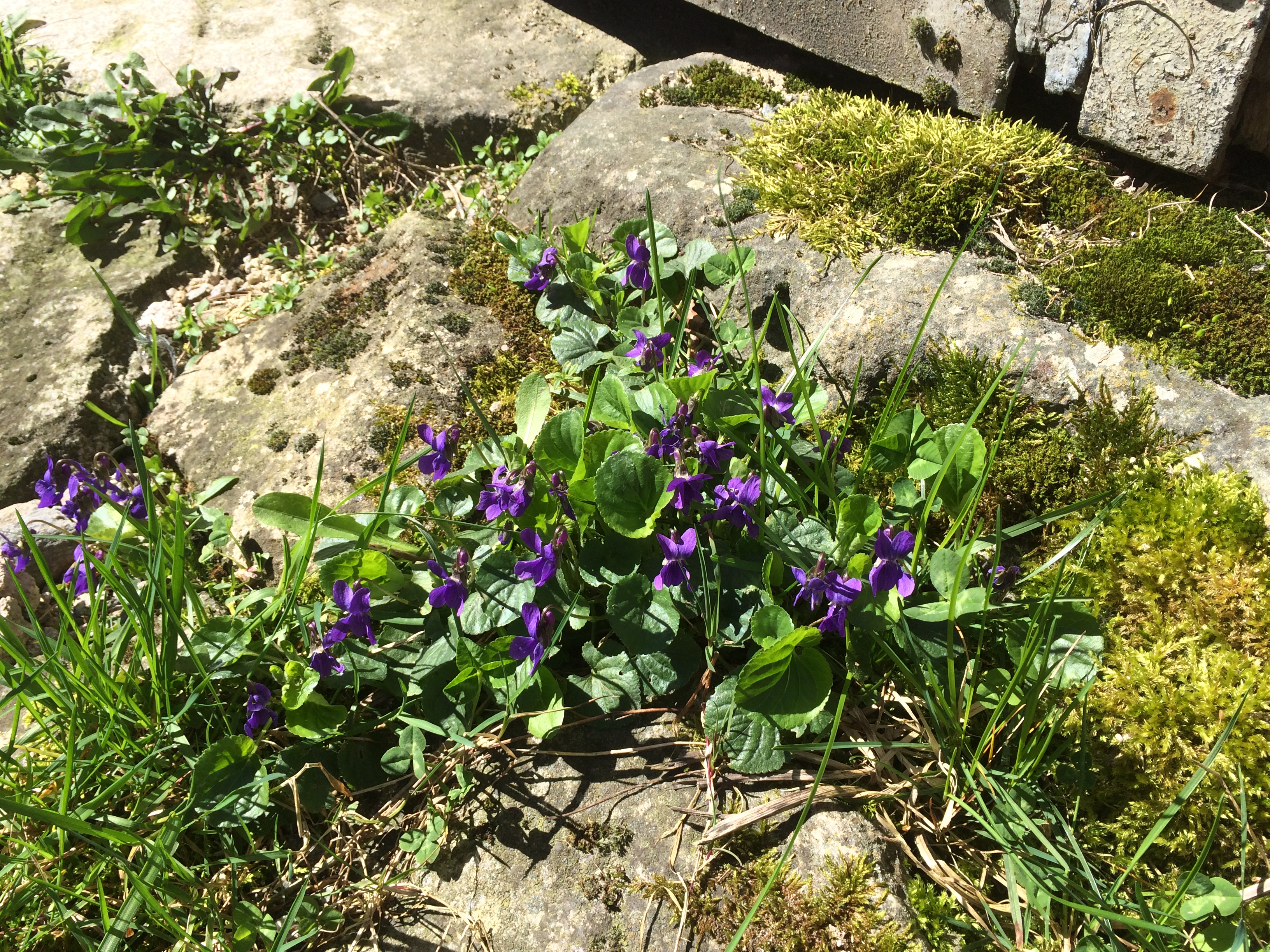 Wild violets add some Spring colour
