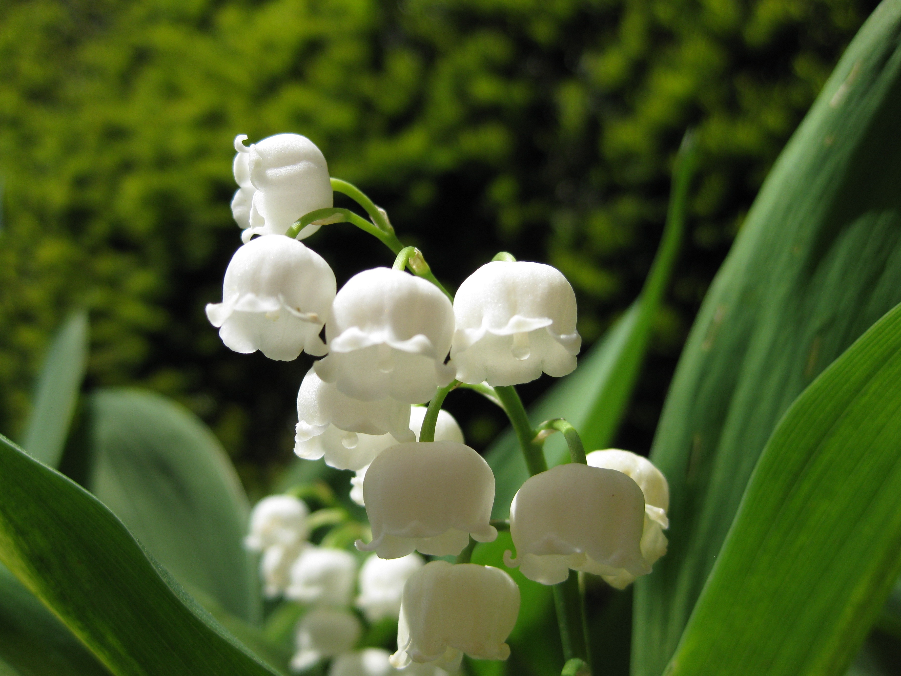 Lilly of the Valley - spring begins