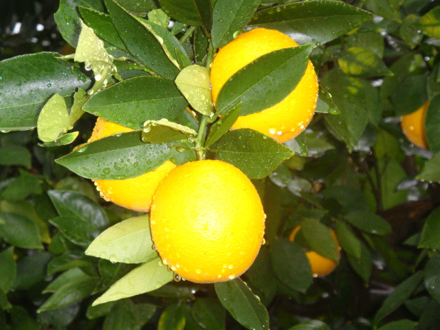 Fresh oranges in South Africa