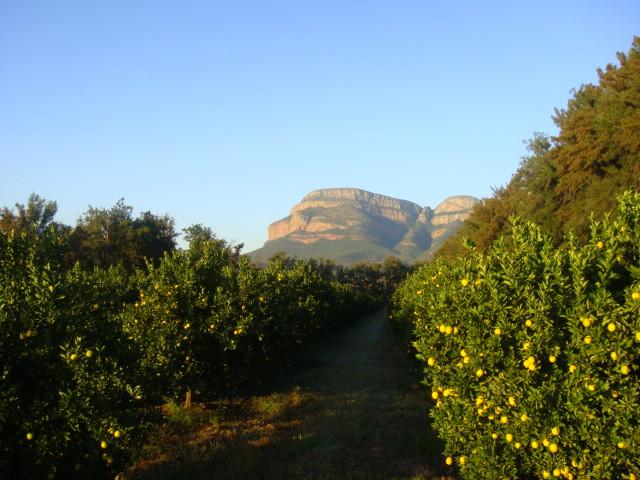 orchard orange trees
