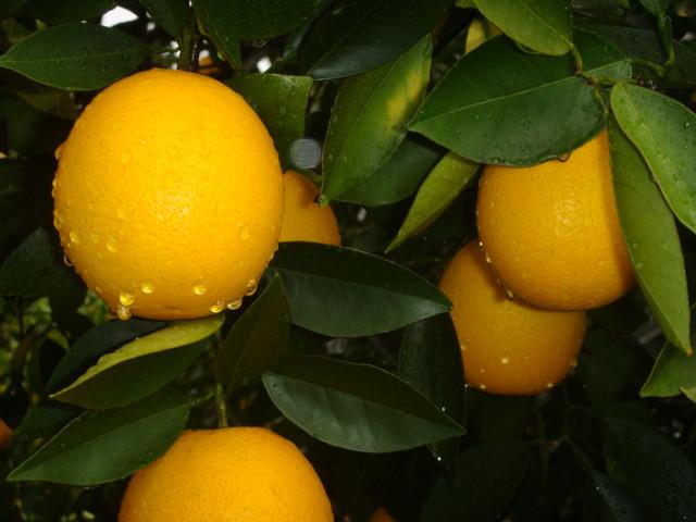 Fresh oranges on the trees