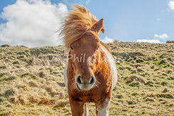 Pony on the Tintagel cliff walk
