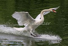 Landing swan in Clissold Park