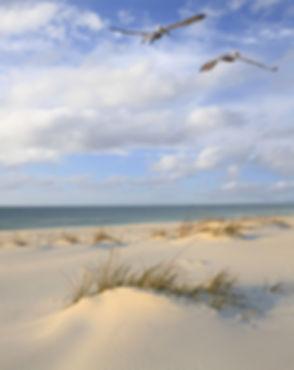 shutterstock_304534622_pelicans_seagrass.jpg