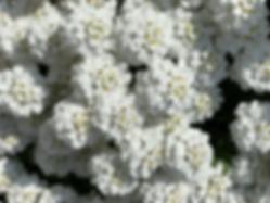Whiteflowers.HEIC