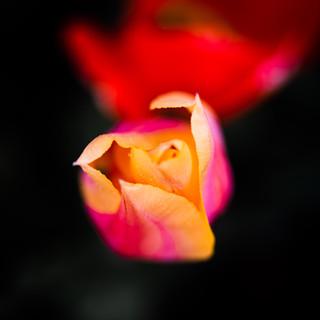 2021'05'02 tulpen-120.jpg