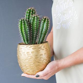 Cactus in gouden pot