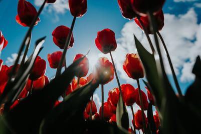 2021'05'02 tulpen-201.jpg