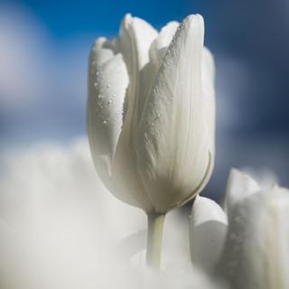 2021'05'02 tulpen-170.jpg