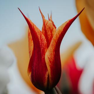 2021'05'02 tulpen-150.jpg