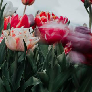 2021'05'02 tulpen-302.jpg