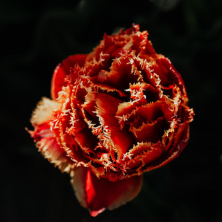 2021'05'02 tulpen-376-bewerkt.jpg