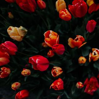 2021'05'02 tulpen-223.jpg