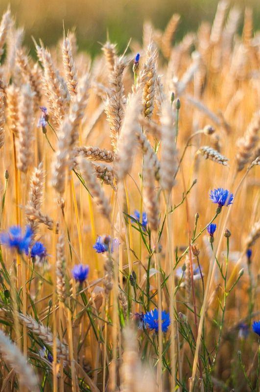 cornflower field.jpg