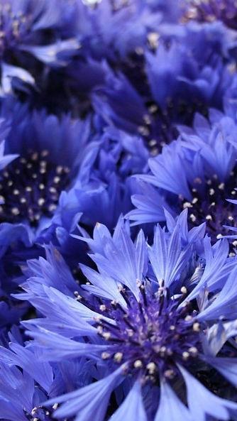 cornflower 2.jpg