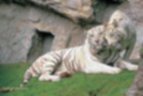 Tigri bianche Parco Faunistico Le Cornelle