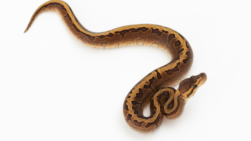 Calico Pinstripe Yellow Belly
