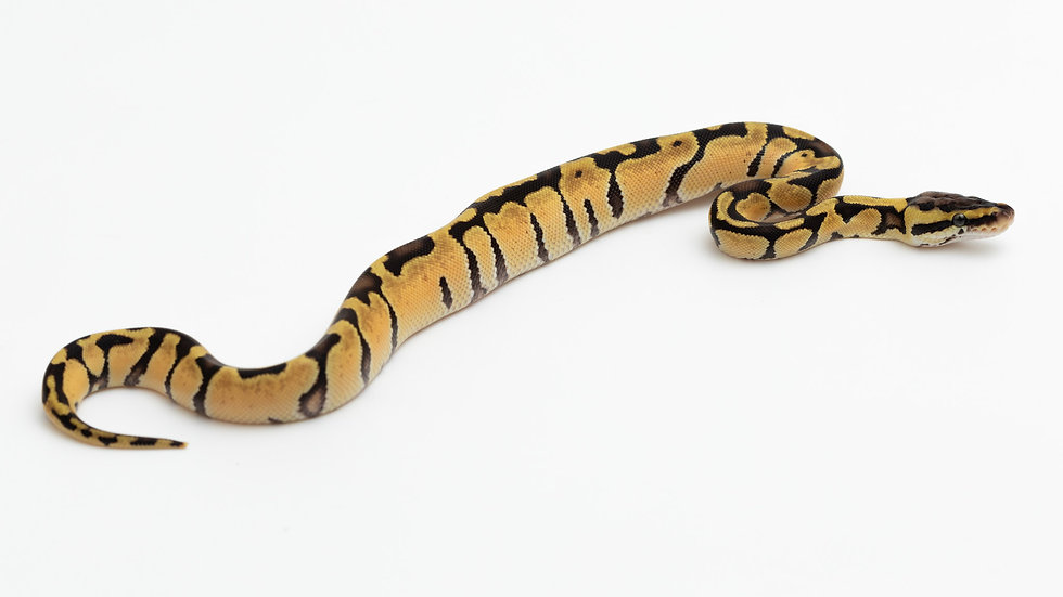 Enchi Pastel het Clown