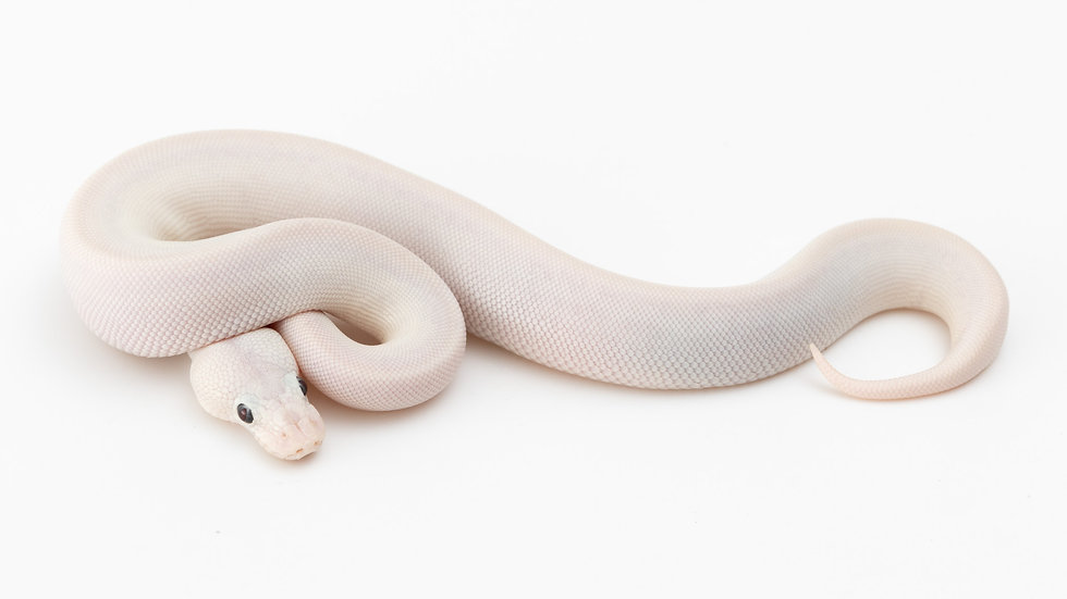 Bamboo Lesser Pastel