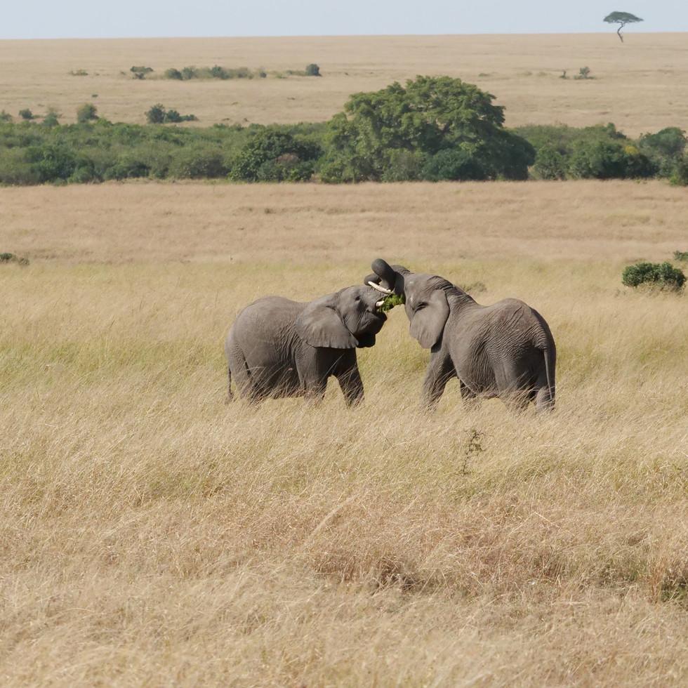 Playful elephants in the Maasai Mara, Kenya