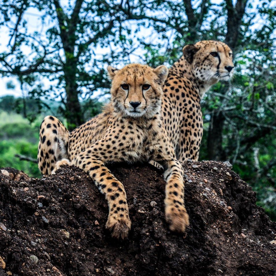 Teenage cheetah cubs lounging in the bush in Manyoni Reserve, South Africa