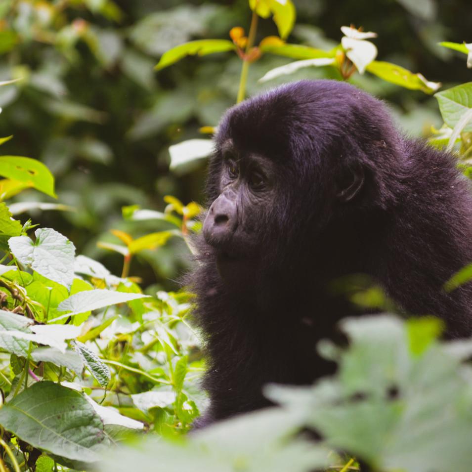 Baby gorilla in Bwindi Impenetrable Forest, Uganda