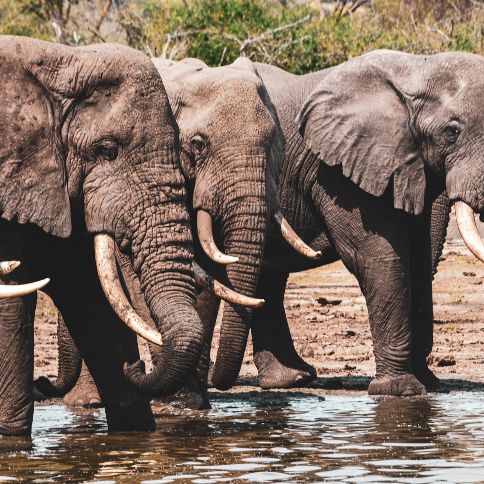 Elephant herd bathing in Kizomba River, Queen Elizabeth National Park, Uganda