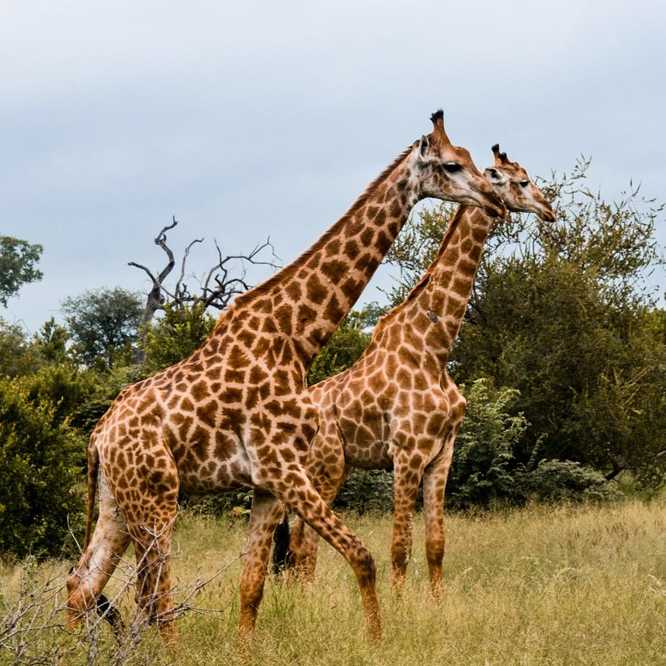 Two giraffes walking through bush