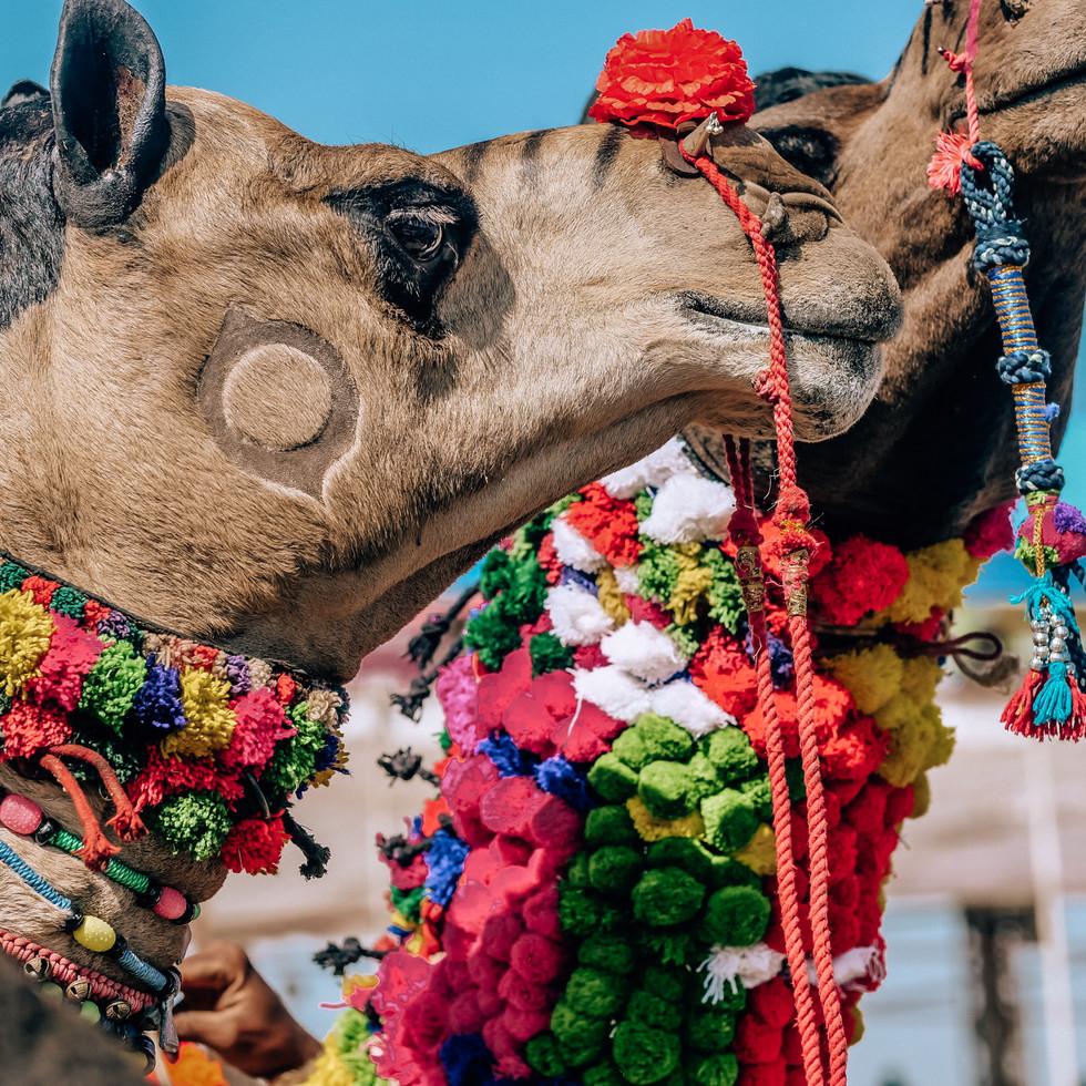 Decorated camels at Puskar Camel Fair, India
