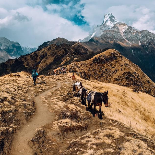Donkeys walking along trail in Mardi Himal, Nepal