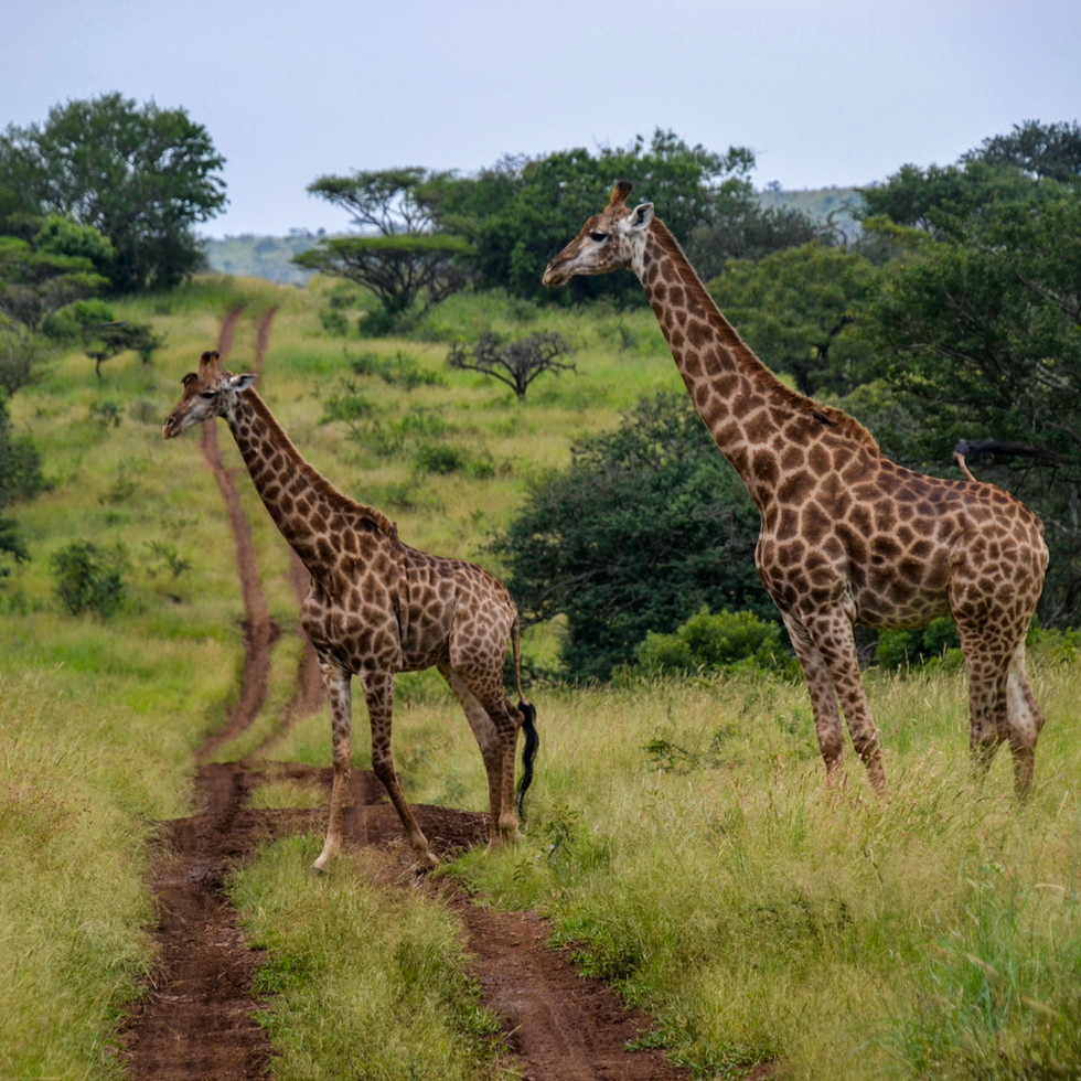 Giraffes on a stroll in Manyoni Reserve, South Africa