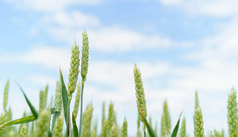 wheat-background-01.jpg