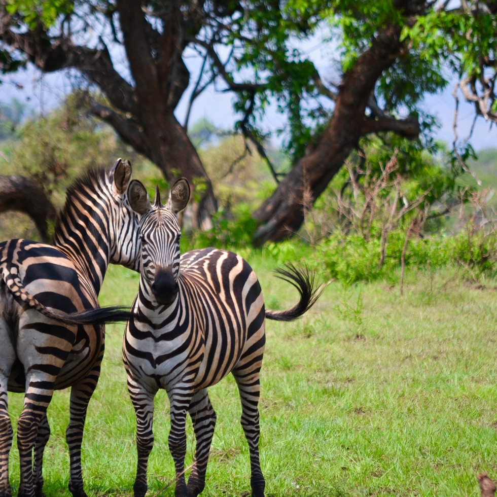 Zebra in Akagera National Park, Rwanda