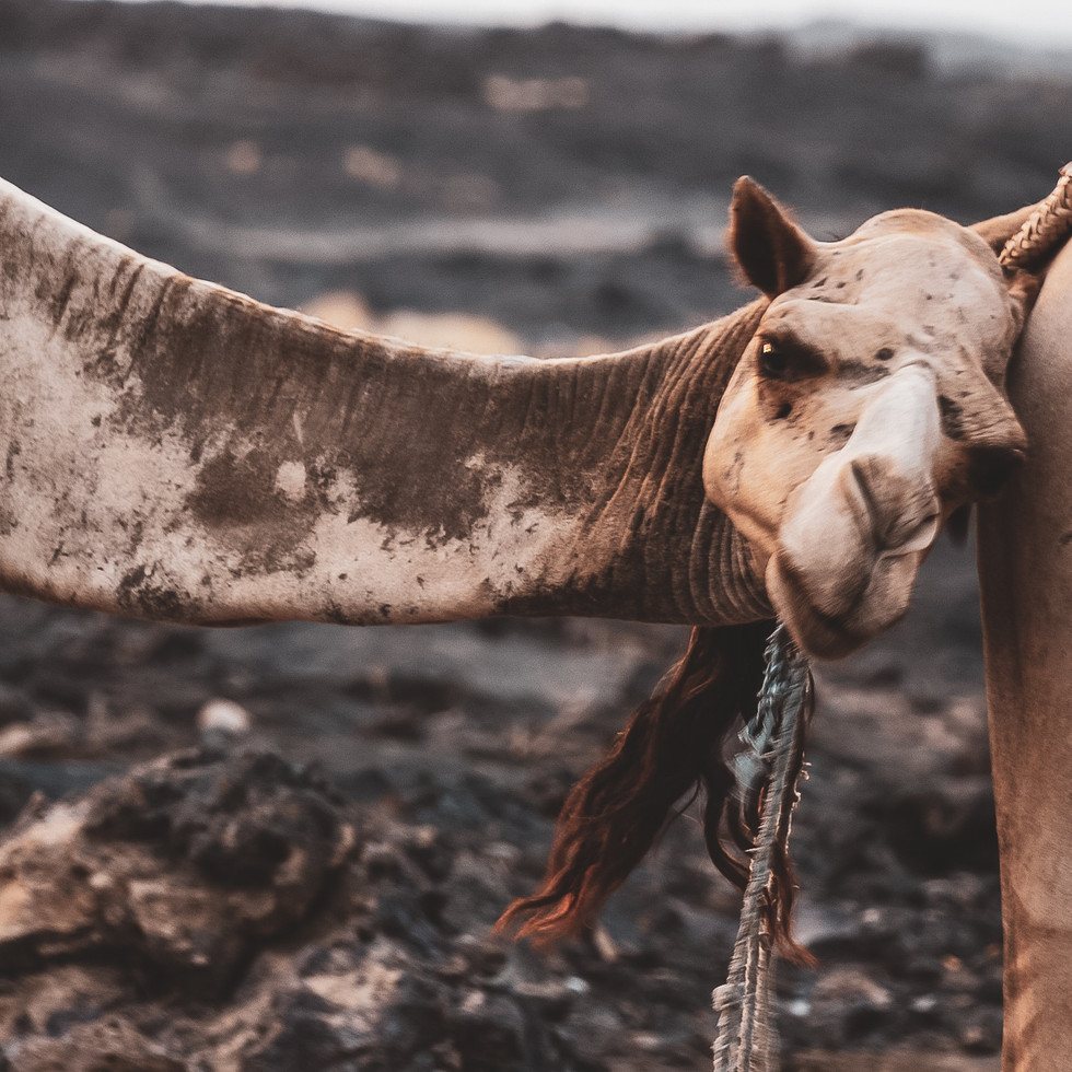 Camels resting at camp in the Danakil Depression, Afar Region, Ethiopia