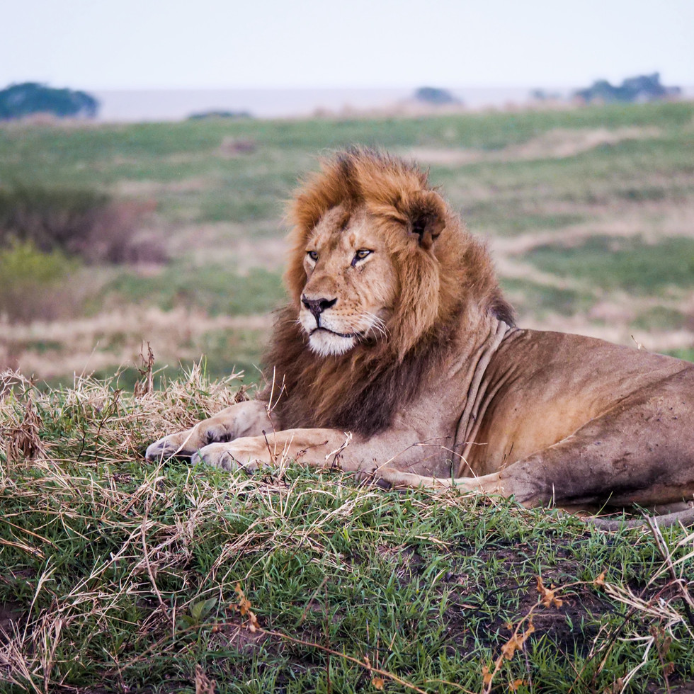 Mighty lion in the Maasai Mara, Kenya