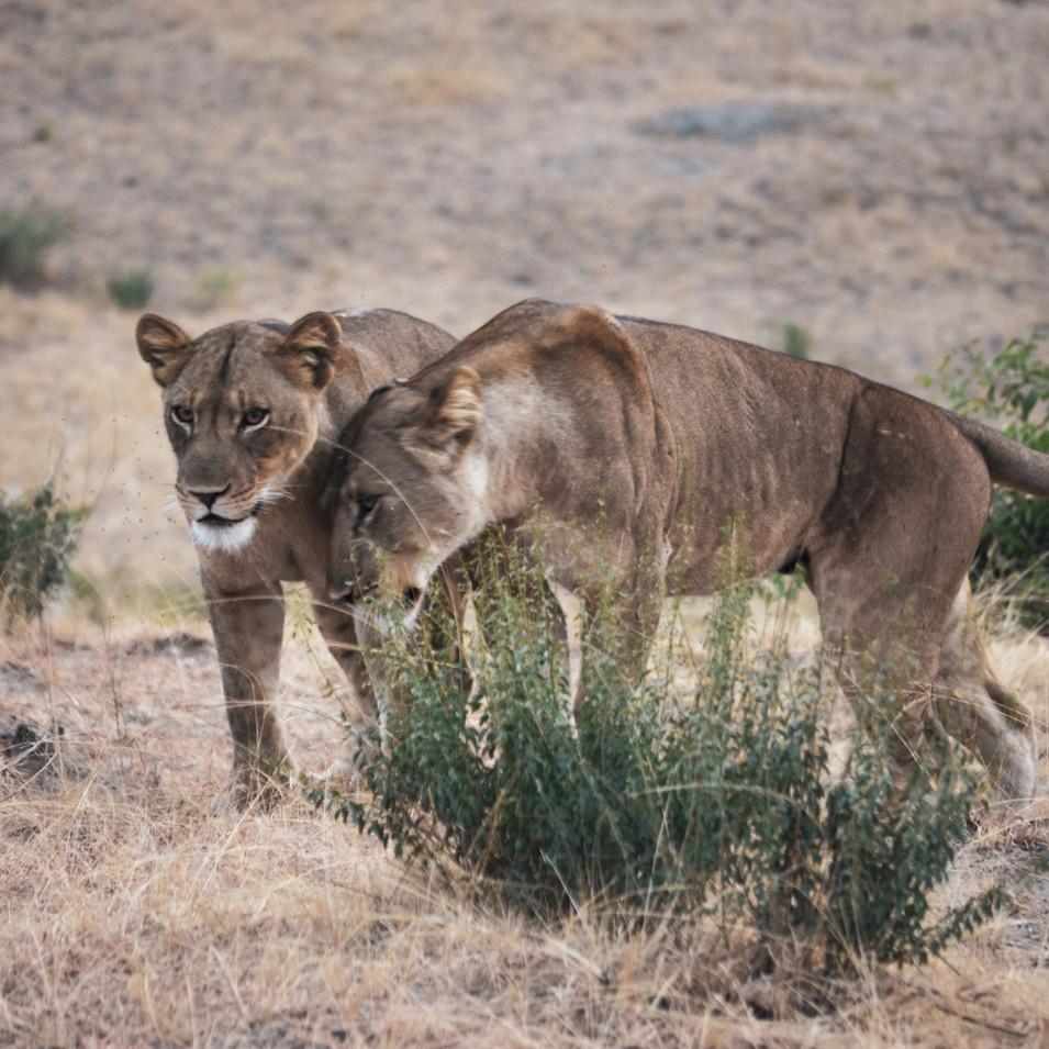 Two lionesses on a hunt in Queen Elizabeth National Park, Uganda