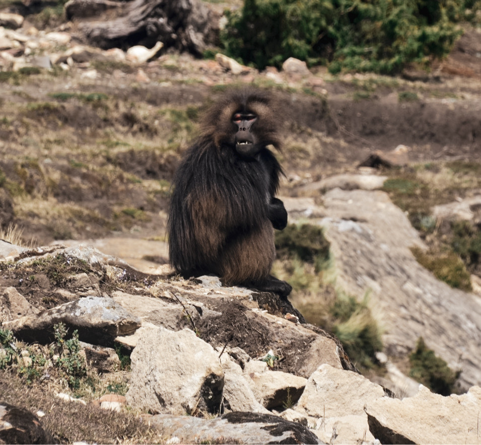 Gelada baboon in highlands in Amhara region, Ethiopia